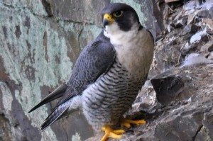 ADULT MALE PEREGRINE FALCONE 01 CPT STEVE WATERHOUSE